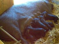 Farrowing_photo