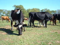 Cows_and_william_oct_2011_002